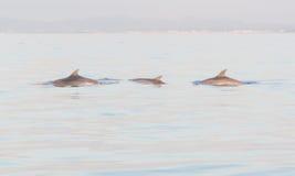 Tre delfini Fotografie Stock Libere da Diritti