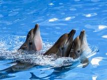 Tre delfini nuotano uno dopo l'altro immagine stock libera da diritti