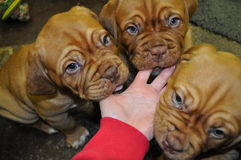 Tre Dogue de Bordeaux Puppies Fotografie Stock Libere da Diritti