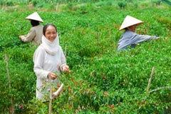 Tre donne agricole che selezionano i peperoni immagini stock