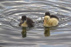 Tre Duck Amigos fotografering för bildbyråer