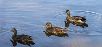 Tre duckar ut för ett bad Royaltyfria Bilder