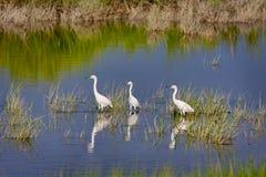 Tre Egrets di Snowy fotografie stock libere da diritti