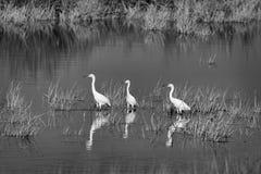Tre Egrets di Snowy fotografia stock libera da diritti