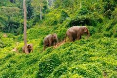 Tre elefanter går på djungeln i Chiang Mai Thailand arkivfoto