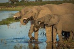 Tre elefanter i linje som dricker från floden Royaltyfri Bild