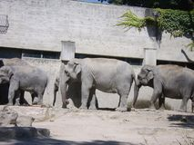 Tre elefanter på den Zurich ZOO, SCHWEIZARE royaltyfria bilder