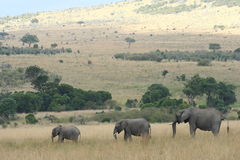 Tre elefanter som irrar till och med masaien Mara Royaltyfria Foton