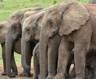 Tre elefanter som står sidan - förbi - sida arkivfoto