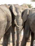Tre elefanter som står som om i konversation Arkivbild