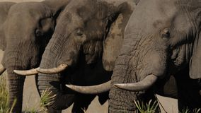 Tre elefanti Fotografia Stock