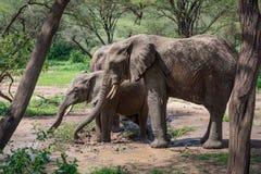 Tre elefanti africani in foro di acqua fangoso Immagini Stock Libere da Diritti