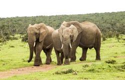 Tre elefanti che camminano su un percorso Fotografia Stock Libera da Diritti