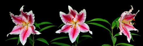 Tre eleganta prickiga rosa liljablommor Arkivfoton