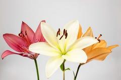 Tre färger av liljan Arkivbilder