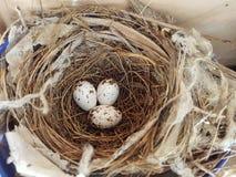 Tre fågelägg i rede royaltyfri bild