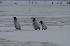 Tre fågelungar för kejsarepingvin fotografering för bildbyråer