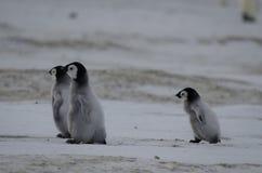 Tre fågelungar för kejsarepingvin arkivfoto