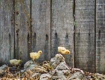 Tre fågelungar som i rad över kör, vaggar framme av ett trästaket arkivfoto