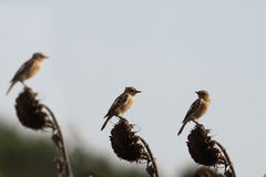 Tre fåglar på ett solrosfält Arkivbilder