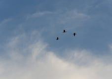 Tre fåglar på himlen Royaltyfri Bild