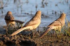 Tre fåglar som tycker om soluppgång Arkivfoto