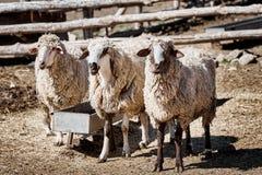 Tre får i en lantgård Arkivfoto