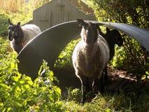 Tre får i landsbyn @ Crookham, Northumberland, England Arkivbilder