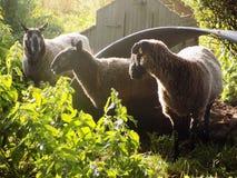 Tre får i landsbyn @ Crookham, Northumberland, England Royaltyfria Foton