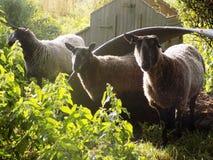 Tre får i landsbyn @ Crookham, Northumberland, England Fotografering för Bildbyråer