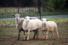 Tre får på en lantgård Arkivfoto