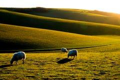 Tre får som betar på sussex Rolling Hills Arkivfoton
