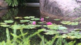 Tre för rosa färger blommor waterlily stock video