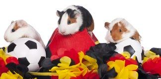 Tre försökskaniner med fotbollmaterial Arkivfoton