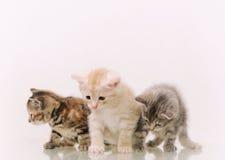 Tre förtjusande päls- kattungar på vit bakgrund Royaltyfria Foton