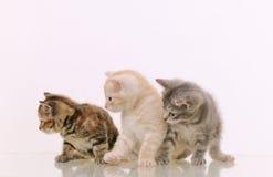 Tre förtjusande päls- kattungar som intresseras i något på vita lodisar Royaltyfri Fotografi