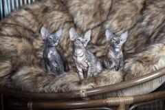 Tre förtjusande sphynxkattungar som inomhus poserar på en stol Arkivbilder