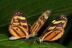 Tre farfalle Immagine Stock