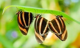 Tre farfalle Fotografia Stock