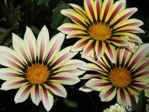 Tre fiori fotografie stock