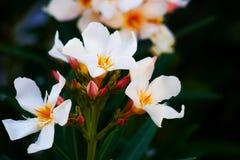 Tre fiori bianchi Fotografie Stock