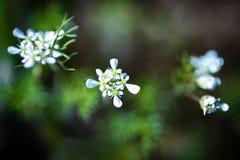 Tre fiori bianchi Fotografia Stock