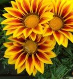 Tre fiori brillantemente colorati di Gazania Fotografia Stock