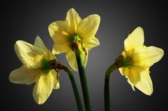 Tre fiori dei narcisi Fotografia Stock Libera da Diritti