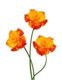 Tre fiori del papavero Fotografia Stock Libera da Diritti