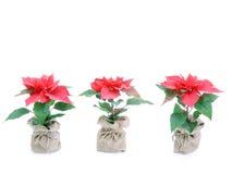 Tre fiori del poinsettia Immagine Stock