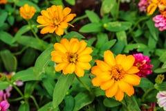 Tre fiori dell'universo Fotografia Stock