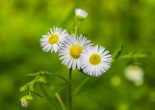 Tre fiori della camomilla Fotografie Stock Libere da Diritti