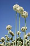 Tre fiori della cipolla Immagini Stock