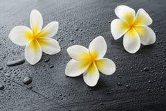 Tre fiori della stazione termale di plumeria del frangipane Fotografia Stock Libera da Diritti
